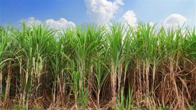 أهالي الزينية بالأقصر يستغيثون بوزير الزراعة والمحافظ لإنقاذ محصول القصب