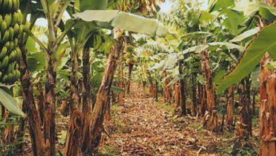 """مصرع خفير وإصابة 5 آخرين في شجار بسبب """" محصول الموز"""""""